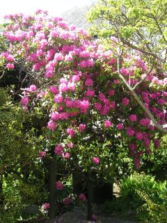 Rhododendroms in May