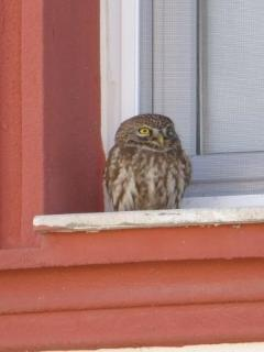 One of the many owls visiting Villa Priene... 2014