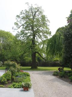 Our old chestnut tree, 150 years old!