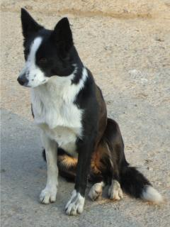 Pippa - the farms working collie dog