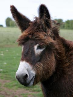 Mickey the pet donkey