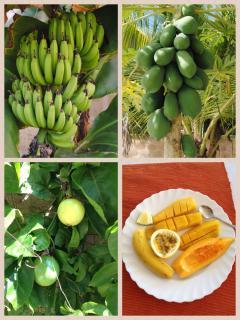 Fresh fruit from the villa's own garden