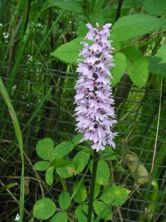 Marsh Orchid by the pond