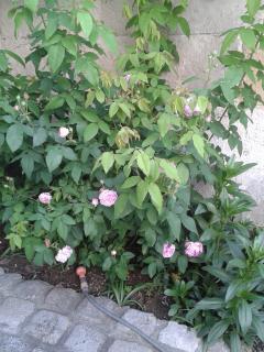 Rosier dans le jardin de nos hôtes