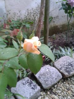 Une rose en pleine floraison dans le jardin de nos hôtes