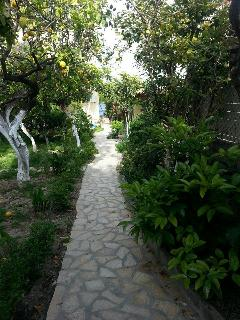 Lemon trees in the garden