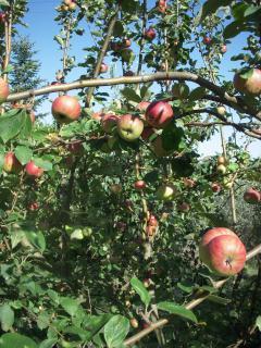 I doni della terra... il melo