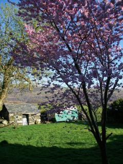 The Cherry Blossom in the back garden in full bloom where you'll find the clothes line