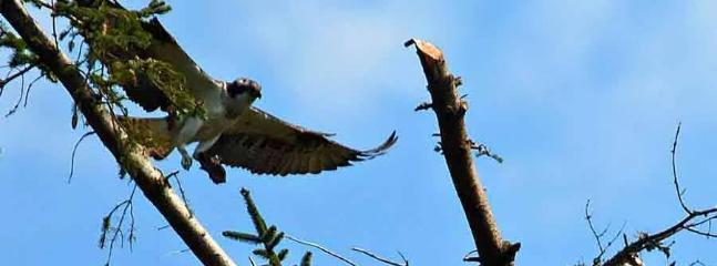 Osprey at nearby nest. Taken by one of our guests
