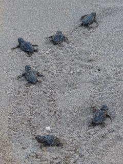 Turtle hatchlings race to the sea on Pissouri bay beach - over 600 hatchlings made this journey