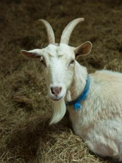 Jenny, our cheeky goat who loves a slice of white bread!