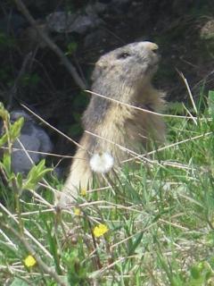 Marmot, in June 2016