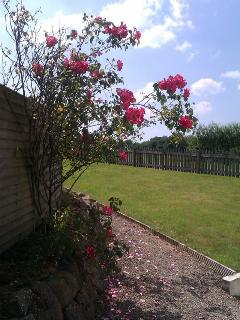 roses in full bloom in garden
