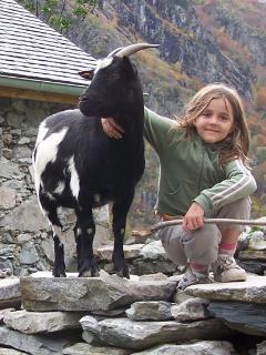 Chèvres devant la grange, en liberté parfois !
