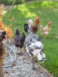 The hens and turkeys roaming