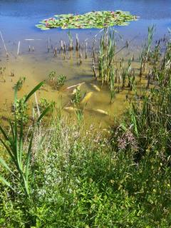 Under a hot sun, carp bask in the warm water of the lake margin in height of summer.