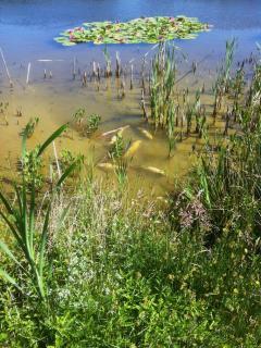 Under a hot sun, carp bask in the warm water of the lake margin in summer.