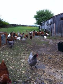 Some of our hens