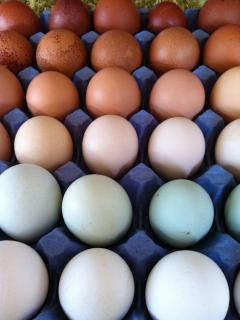 Rainbow eggs, the main produce of the farm