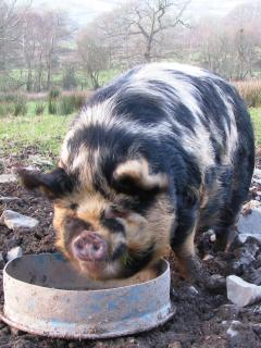 James our pet Kune kune pig