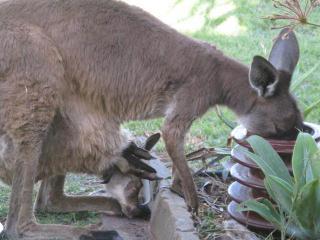 Capture photos of Kangaroos at my personal home