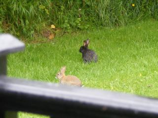 See the wild black bunnies as well as natural colured ones hopping around outside the lodges