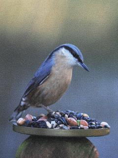 Nuthatch enjoying winter feast