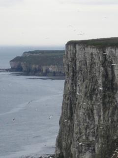 Bempton White Cliffs -seabirds nesting site