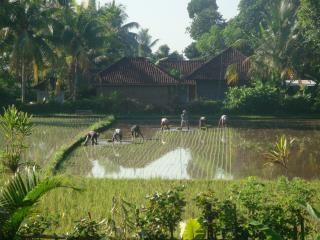 Le rizières bordant la villa : calme garanti.