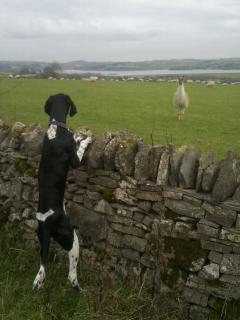 Llama in field overlooking Carsington Water