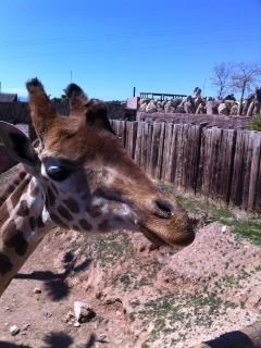 A giraffe we hand fed at the zoo in Murcia