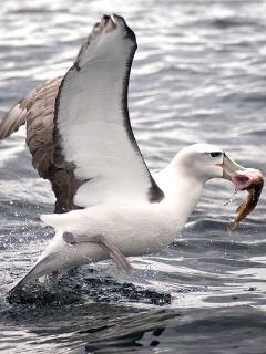 Local Albatross