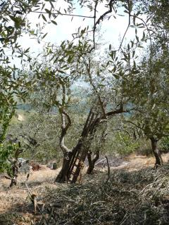 Age old olive trees in the grove on the hillside around the historic town walls.