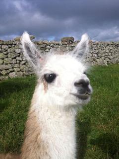One of the llamas on the farm