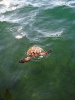 caretta-caretta sea turtle