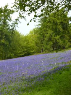 Bluebells on the Malverns around May time