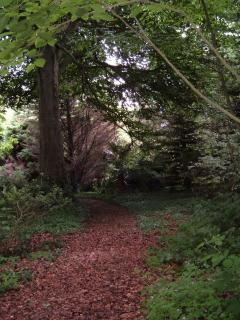 Our woods. Beech tree