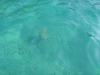 Turtle swimming, Ekincik marina near Dalyan, Turkey