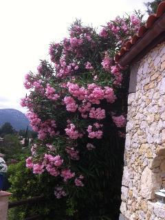 the oleanders in summer