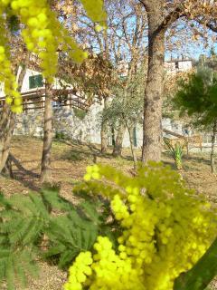 la casa avvolta dalla mimosa in Gennaio