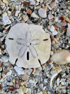 Stroll along the beach and find beautiful shells, sand dollars and other treasures!