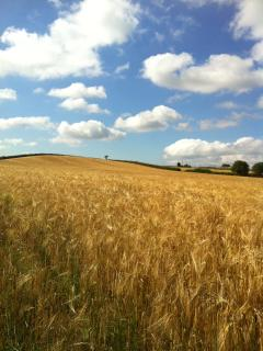 A lovely walk through the cornfields in the village