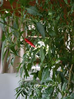 the spicy chilli plant