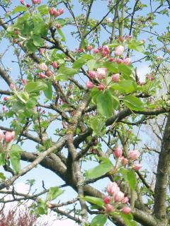 Apple trees blossoming - spring