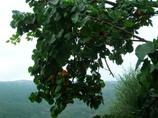 the apricot  tree on the terrace