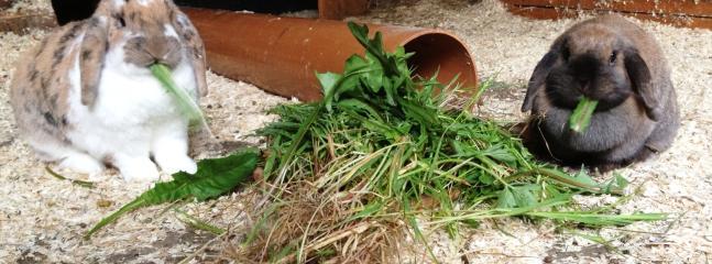 Our rabbits love dandelion leaves and left over veg peelings!