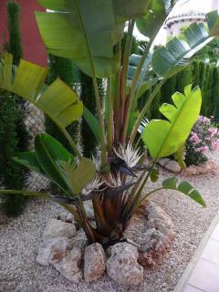 Banana tree in flower