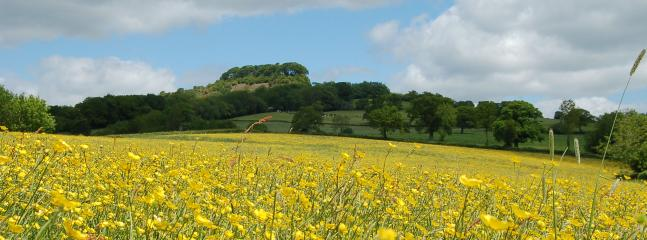 Field of buttercups with Dumpdon Hill Fort in the distance