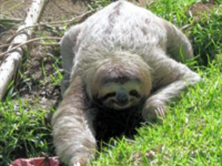 here's a sloth in the grass of Casa Linda's yard