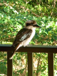 Kookaburra  on the verandah
